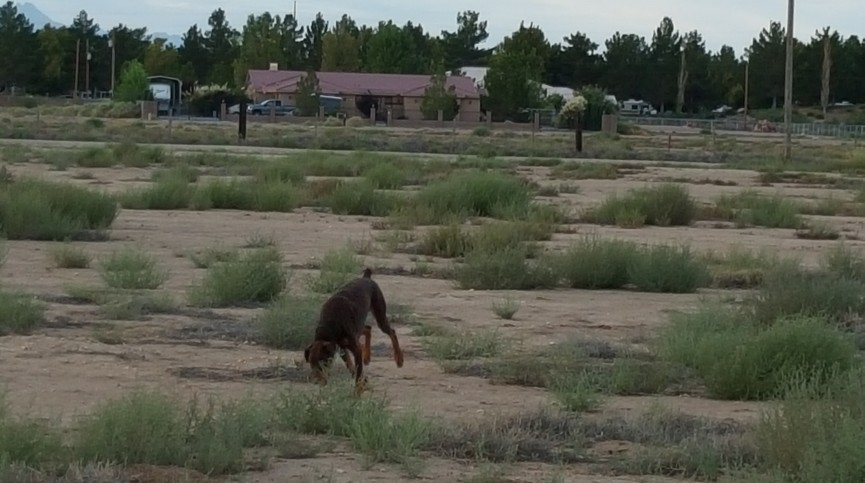 Duke in the desert, Pahrump, NV