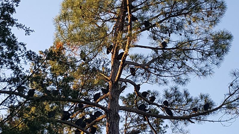 Turkey Vulture Tree